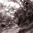 C138_2013_12_03_pine_root_drop