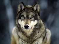 S200x600_snow_wolf_1383143036
