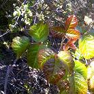 A little poison oak?